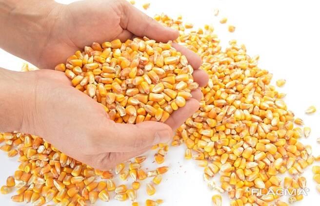 Кукуруза кормовая CIF